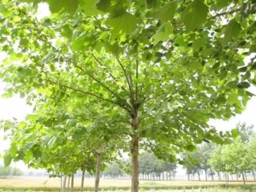 法桐带土球栽植利于成活优美观赏树种