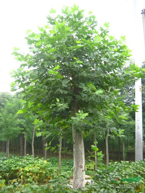 植法桐树及移植林木采伐搬运