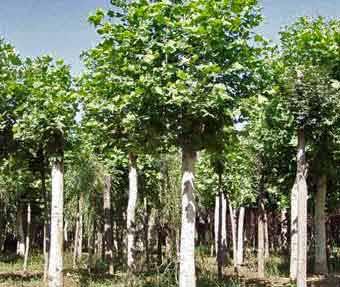 法桐种植容器种植的树保持根球湿润