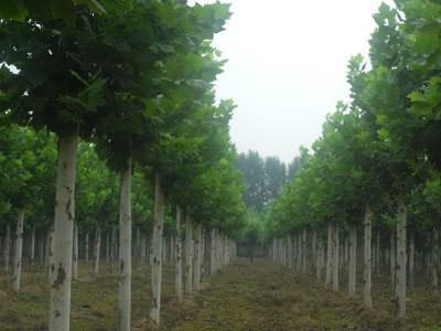 法桐根苗有足够的栽植密度