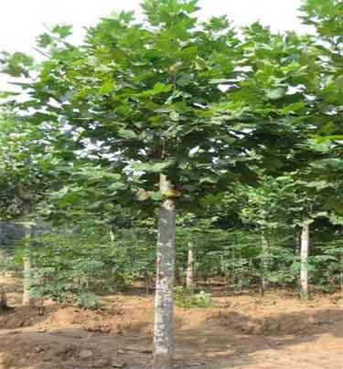 法桐作庭荫树绿篱地被植物