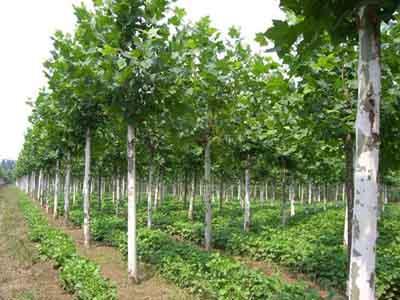 法桐树干通直绿化层次的增高