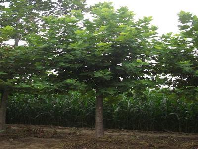 法桐有花8朵叶卵状披针形两旁栽植树木