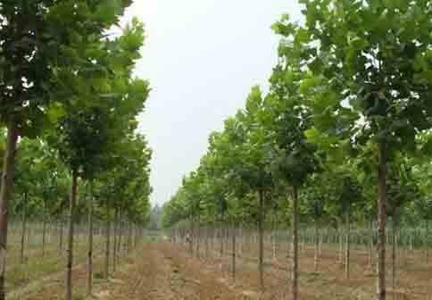 法桐自然生长常见植物的整形修剪
