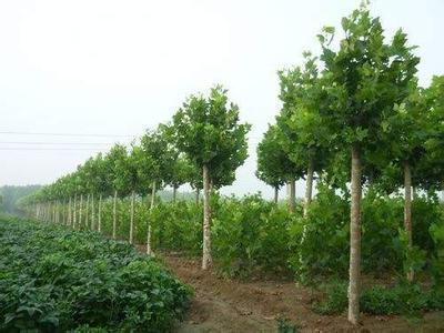 法桐苗木开始萌动之前起苗芽苞片出现淡绿色