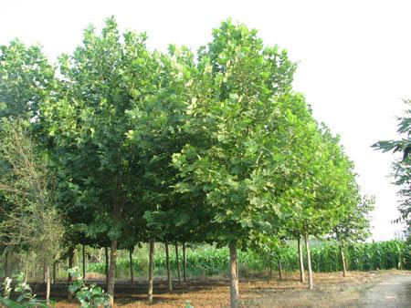 法桐用土将根系埋好可有效地提高成活率