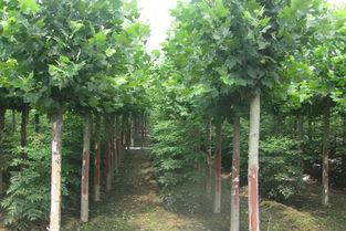 法桐苗木可以调控温度和湿度等环境提供良好条件