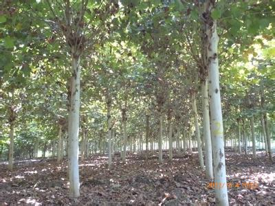 法桐秋季移入栽培园定植保持适宜湿度