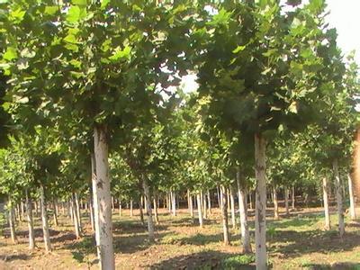 法桐树冠自茎枝叶紧密的球状