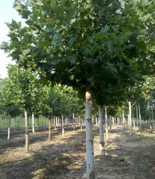 法桐树冠移植与出圃修剪减少叶面蒸腾