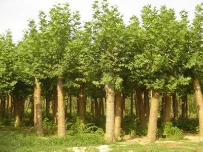 法桐喜肥沃湿润土壤适应性较强生长快萌芽力强