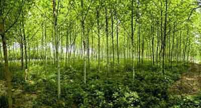 法桐苗木进行叶面喷雾苗木生长有利