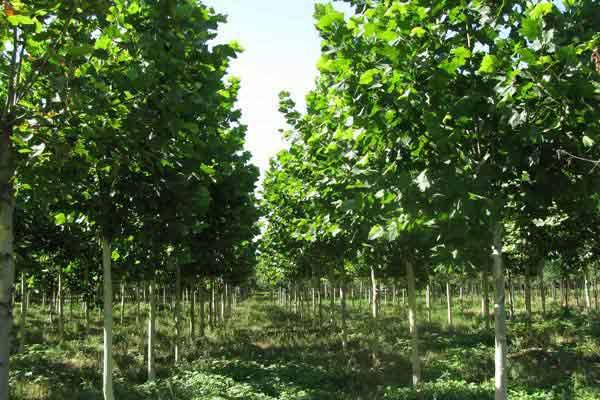 法桐树丛绿化和周围环境创造意境