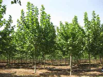 法桐起苗方法根据根系要求深度切断苗根