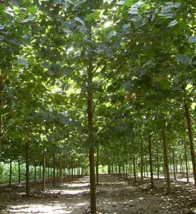 法桐栽植分层压实浇足水分成活率较高