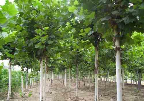 法桐栽植时可作景双地被材料通风良好环境