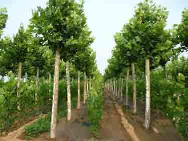 法桐在肥沃湿润排水良好土壤中生长良好