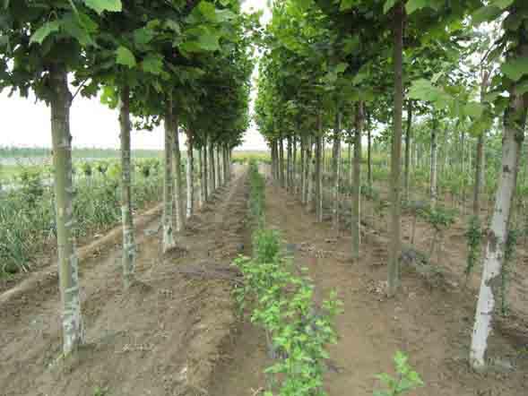 法桐自然式栽种配置粗放