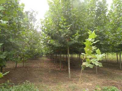 法桐植物压条生长季节的11月份进行