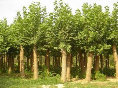 法桐植物人工与自然配植成主景