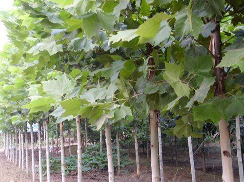 法桐枝叶繁茂有与粗度相称的高度