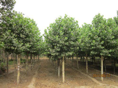 法桐植物生长整齐快速培育造林绿化苗木