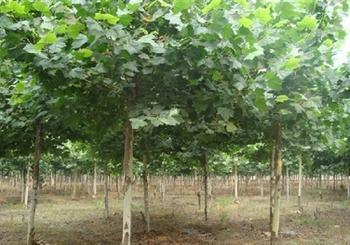 法桐按株栽植进行修枝埋土处理