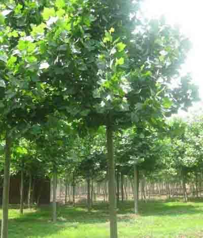 法桐栽培树冠圆形小枝绿色皮孔明显