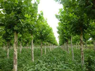法桐扦插育苗采集和处理插穗