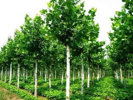 法桐苗木调整树冠各主枝长势