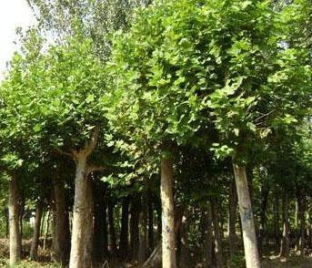 法桐树冠作适当修剪以减少水分蒸腾