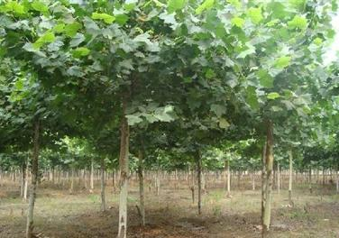 法桐苗木移植方案精修剪并扎蓬
