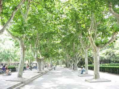 法桐自然的和谐共存观赏树木