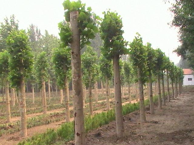 法桐栽植苗木植苗和压实覆土等工序