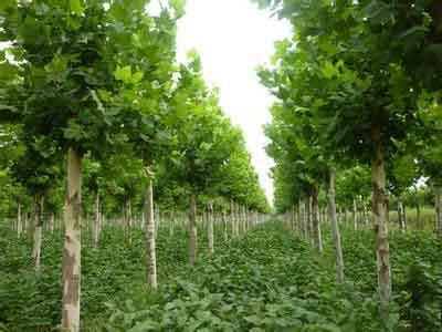 法桐自然生长树冠形式植物