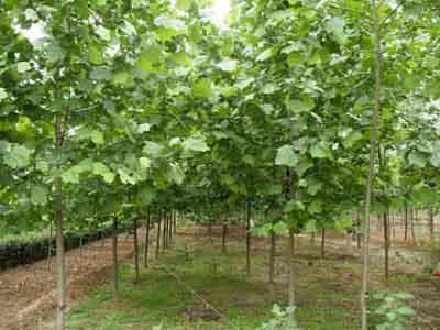 法桐栽培树冠为较标准的半圆型