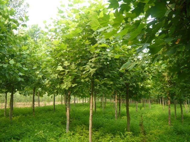 法桐枝条细而密春天发育快生长量大