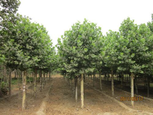 法桐苗木繁育管理与经营的应用