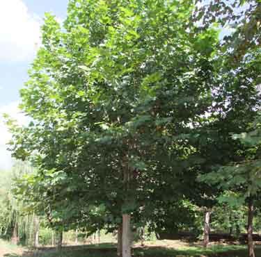 法桐树姿美丽枝干白色干多分枝
