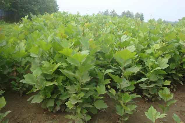 法桐发育容器苗生产育苗的发展