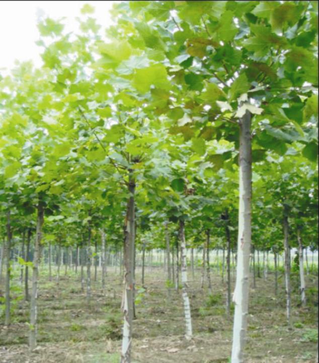 法桐树形优树皮深褐色开沟条播