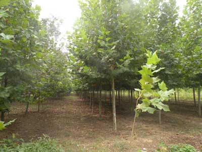 法桐苗木当秋季起苗后长期假植