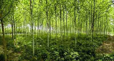 法桐植物栽培与养护是指对种植