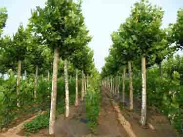法桐栽培生长阳光充足的环境