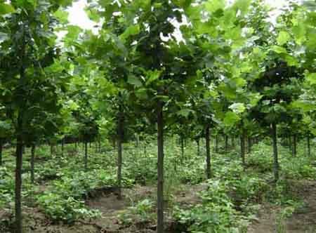 法桐育苗移植以利带土球出圃