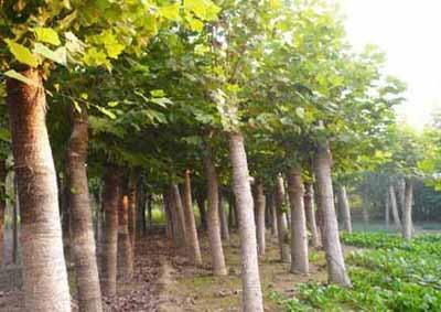 法桐生长浇水保持土壤的湿度