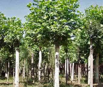 法桐树木植物园林的创伤与愈合