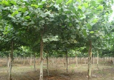 法桐带土球苗法桐栽植用木棍夯实