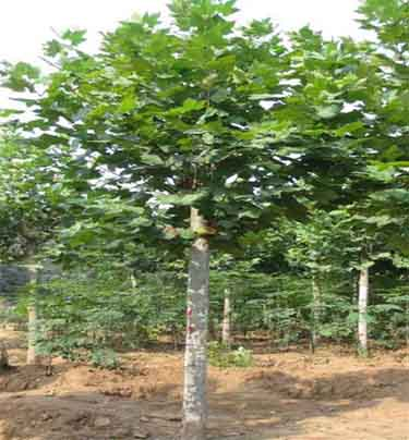 法桐极强固地与支撑能力来稳固庞大的树体