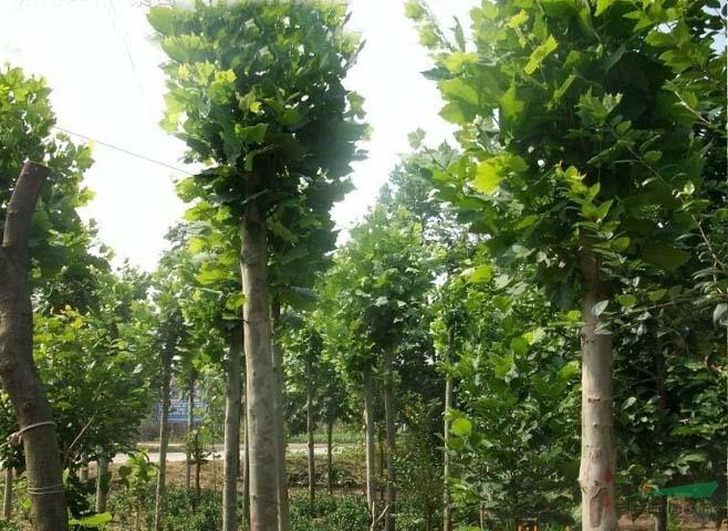 法桐移植的树苗枝梢根系生长